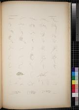 Cyproidea. Pl. 90