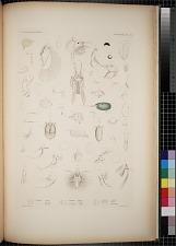 Cyproidea. Pl. 91