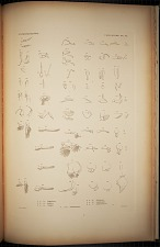 Caligoidea. Pl. 92
