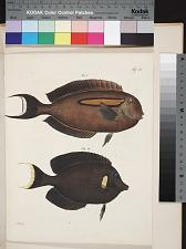 Fig. 1 Acanthurus olivaceus (Bloch Schneid.) Fig. 2. Acanthurus pyroserus (v. Kittlitz)