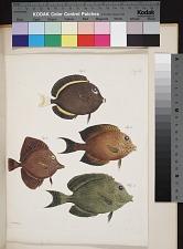Fig. 3. Acanthurus glaucopareius (Cuv.). Fig. 4 Acanthurus guttutus (Block Schneider). Fig. 5 Acanthurus flavoguttatus (v. Kittlitz). Fig. 6 Acanthurus rhombeus (v. Kittlitz).