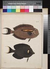 Fig. 1 Acanthurus olivaceus (Block Schneid.). Fig. 2 Acanthurus pyroserus (v. Kittlitz).