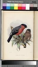 The Bullfinch - Plate between p. 34-35