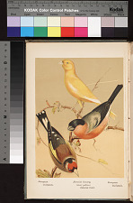 European Goldfinch, Norwich Canary (clear yellow) Natural Color, European Bullfinch