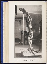 Fig. 39. Limb of Gorgosaurus. Mounted by Charles M. Sternberg.