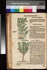 Wilder ölbaum Oleaster ; Lorbeerbaum Laurus