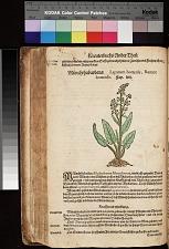 Münchrhabarbara Lapatum hortense Rumex hortensis