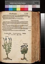 Teutscher Pick Nardus Germanica ; Spicanardi ; Lavendel Lavendula ; Lavendelblumen Lavendel