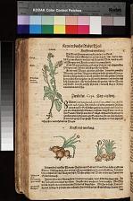 Hederich der Heydenrettich Lampsana ; Zwibeln Cepa