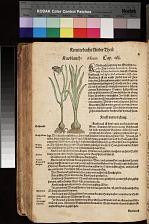 Knoblauch Allium