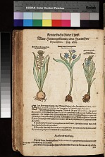 Blaw Hornungsblumen oder Hyacinthen Hyacinthus ; Blauw Hornungsblum (erste) Hyacinthus magnus ; Blauw Hornungsblum (zweyte) Hyacinthus medius