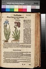 Welsch Violwurtz Iris Florentina ; Violwurtz ; Blaw Schwertel oder Violwurtz Iris