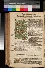 Muscatenblum Macis ; Zimmetrinden Cinnamomum ; Muscatennuss Nex Muschata
