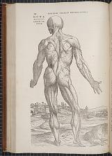 Standing anatomy figure.