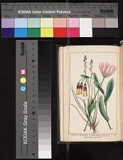1. Anemone hortensis 2. Asphodelus fistulosa 3. Cerinthe aspera