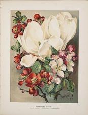 Flowering Shrubs. 1. Magnolia conspicua. 2. Pyrus Malus. 3. Cydonia japonica.
