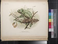 Chamaeleon vulgaris
