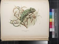 Chamaeleon basiliscus