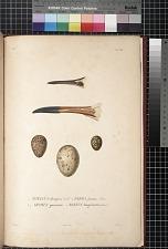 1. Totanus flavipes, Vieil. 2. Parra jacana, Linn. 3, 4. Aramus guarauna. 5. Rallus longirostris, Gmel.