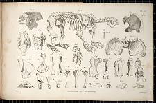 Osteologie du Megatherium