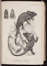 A. Chamaeleon brevicornis. B. Chamaeleon gularis