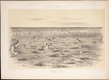 Albatross nests. Laysan Island