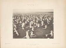 Colony of White Albatrosses. Laysan Island