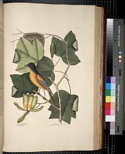 The Tulip Tree, The Baltimore Bird