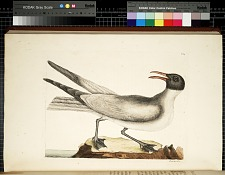 T. 89. The Laughing Gull