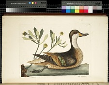T. 93. The Ilathera Duck