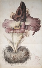 Amorphophallus campanulatus.