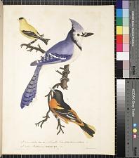 1. Corvuscristatus, Blue Jay. 2. Fringilla Tristis, Yellow Bird or Goldfinch. 3. Oriolus Baltimorus, Baltimore Bird