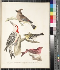 1. Cedar bird. 2. Redbellied woodpecker. 3. Yellow-throated flycatcher. 4. Purple finch, pp. 7 ff.