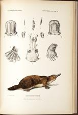 Ornithorhychus anatinus.