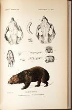 Phascolomyidæ. 1. Phascolomys ursinus. 2. Lasiorhinus latifrons.