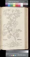 Cucumer marinus