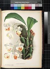 Aganisia Tricolor Brown