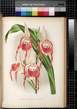 Cypripedium Schorderae var. Splendens