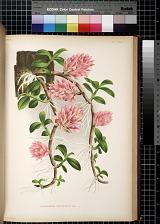 Dendrobium Bracteosum RCHB. F.