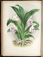 Zygopetalum Gibeziae N. E. BR.