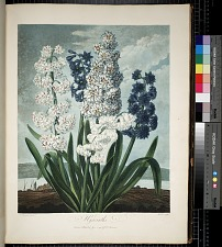 Group of Hyacinths