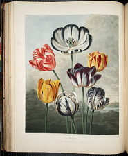 A Group of Tulips