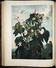 The Oblique Leaved Begonia