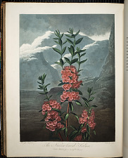 The Narrow-leaved Kalmia