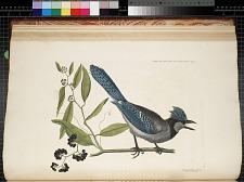 T. 15 Blue Jay