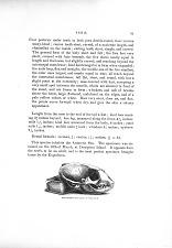 Halichoerus antarctica—Cranium