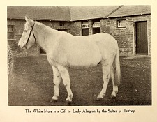 The white mule is a gift to Lady Alington to Sultan of Turkey.