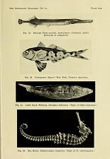 Sea horse, Hippocampus angustus