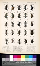 Beetles