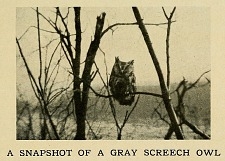 A snapshot of a gray Screech Owl.
